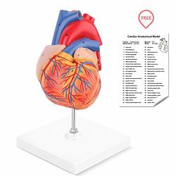 Ronten Human Heart Model 2-PART Life Size Anatomically Accurate Numbered Heart Medical Model Held Together With Magnets On Base
